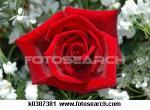 redrose's Photo